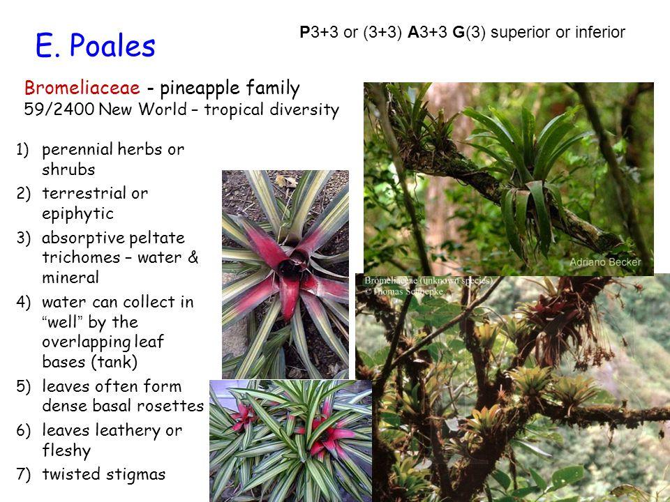 E. Poales Bromeliaceae - pineapple family