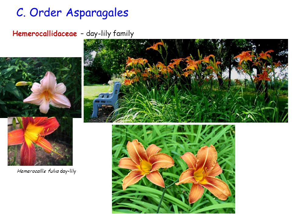C. Order Asparagales Hemerocallidaceae – day-lily family