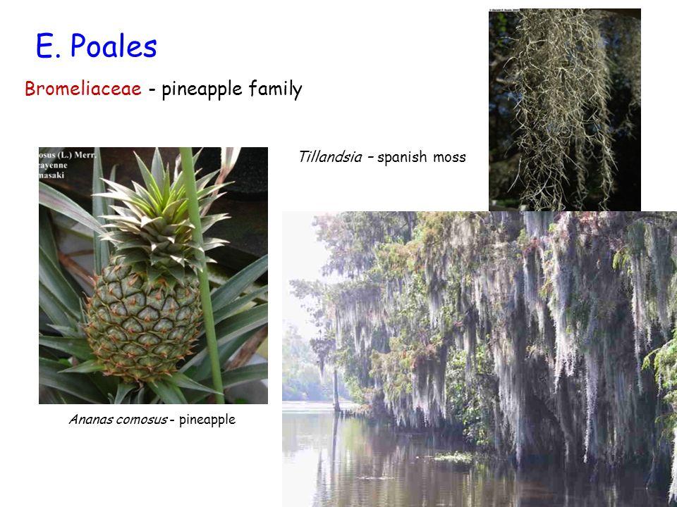 E. Poales Bromeliaceae - pineapple family Tillandsia – spanish moss
