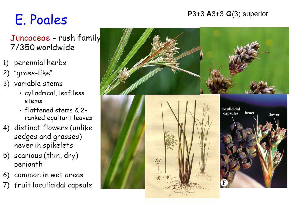 E. Poales Juncaceae - rush family 7/350 worldwide