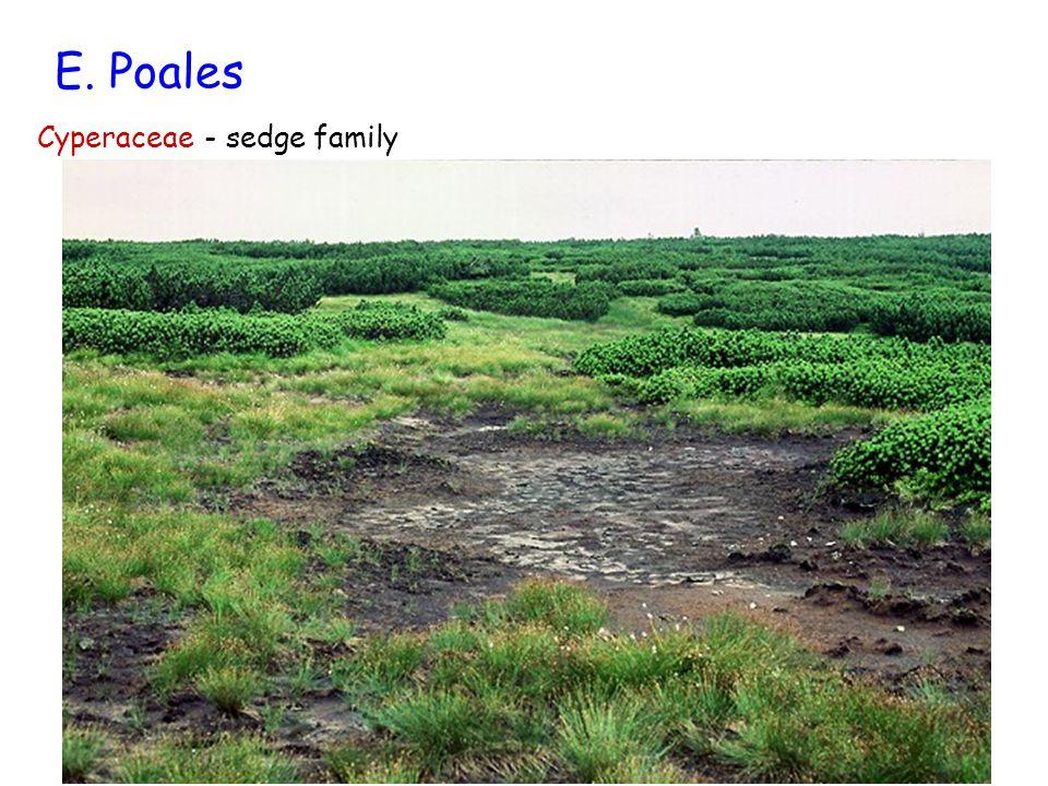 E. Poales Cyperaceae - sedge family