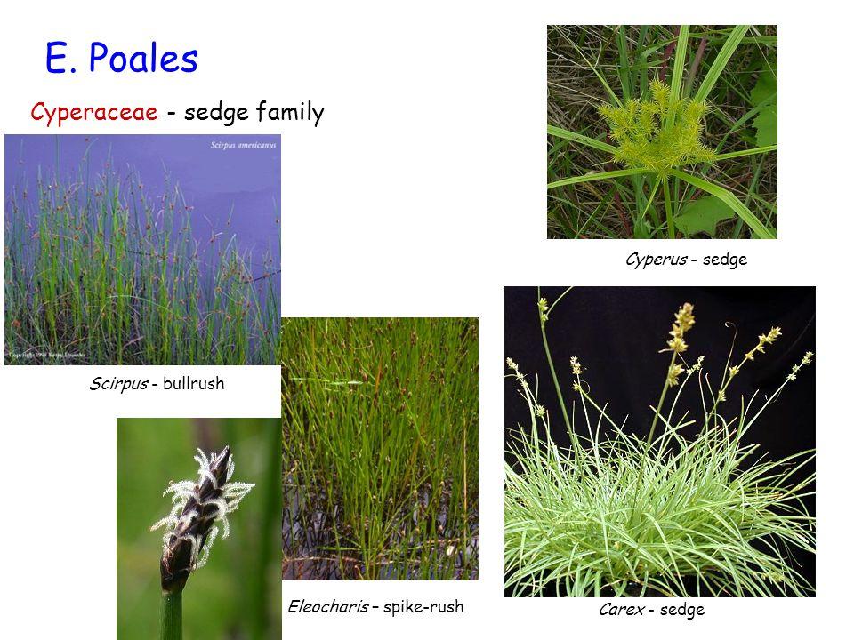E. Poales Cyperaceae - sedge family Cyperus - sedge Scirpus - bullrush