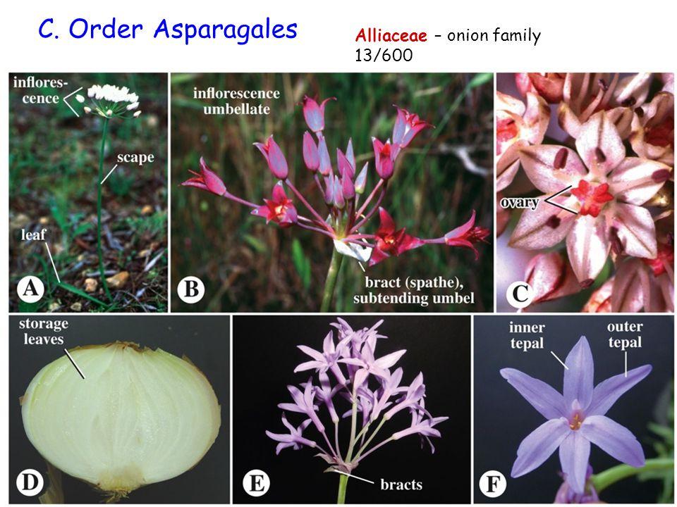 C. Order Asparagales Alliaceae – onion family 13/600