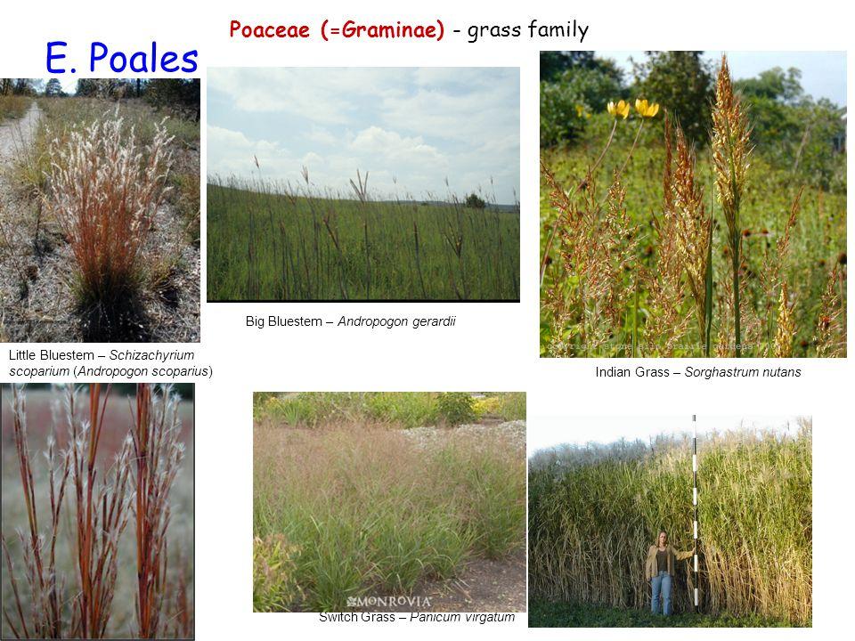 E. Poales Poaceae (=Graminae) - grass family