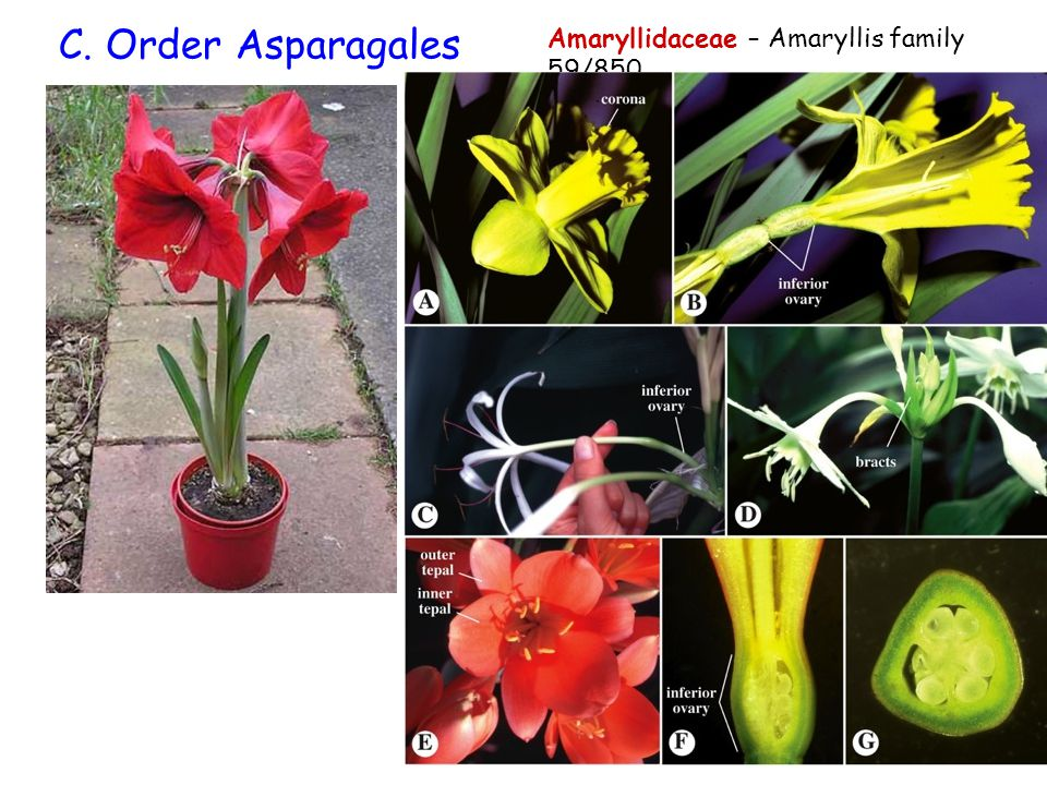 C. Order Asparagales Amaryllidaceae – Amaryllis family 59/850