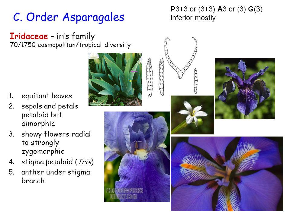 C. Order Asparagales Iridaceae - iris family