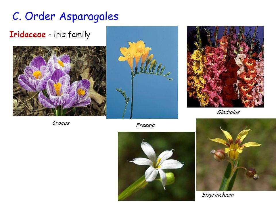 C. Order Asparagales Iridaceae - iris family Gladiolus Crocus Freesia