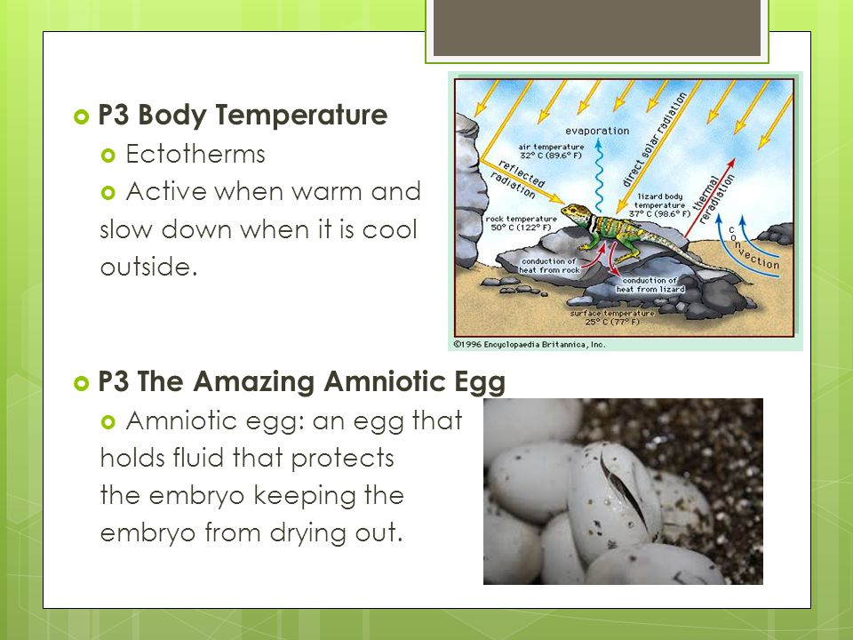 P3 The Amazing Amniotic Egg