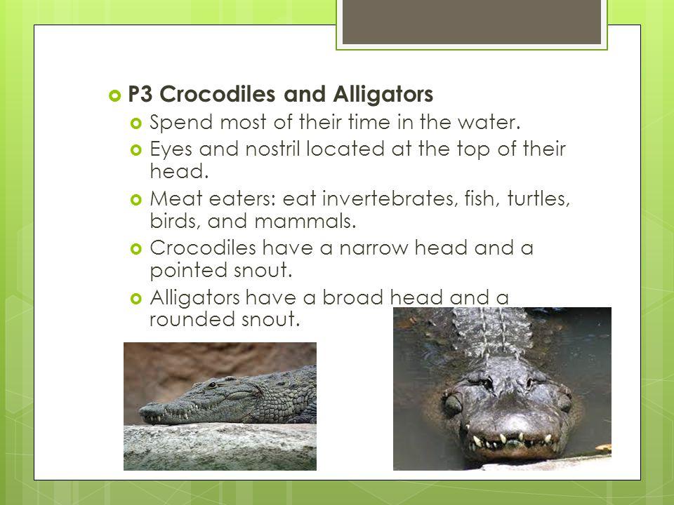 P3 Crocodiles and Alligators