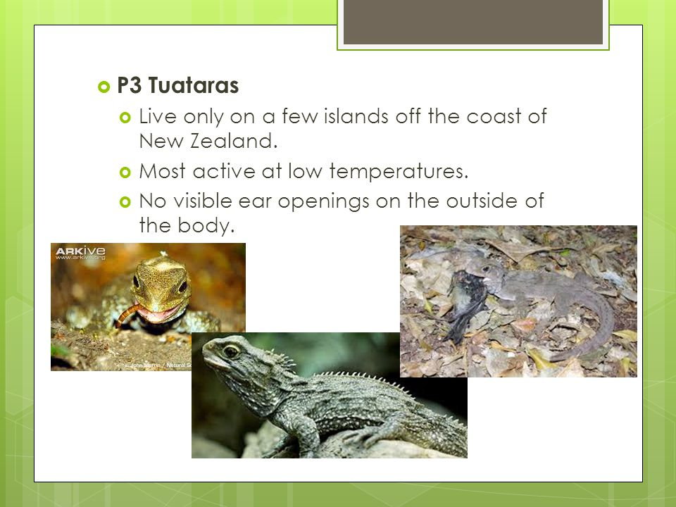 P3 Tuataras Live only on a few islands off the coast of New Zealand.