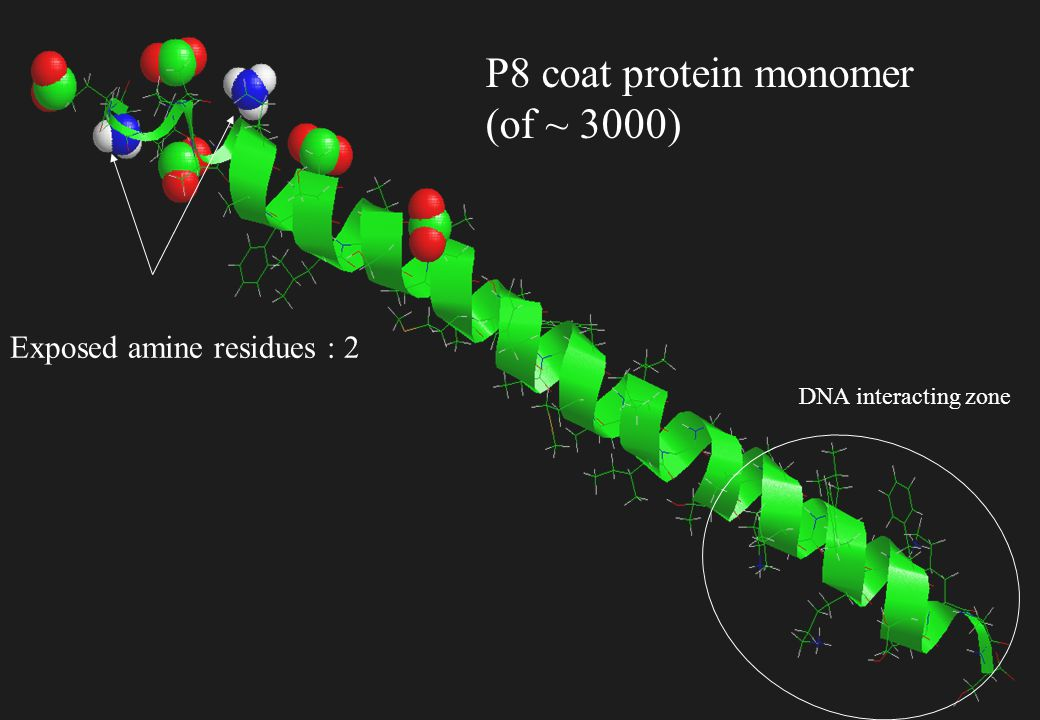 P8 coat protein monomer (of ~ 3000)