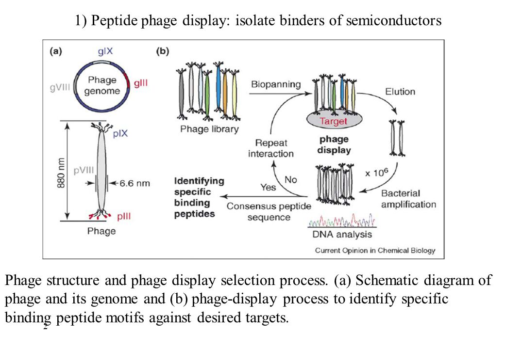 1) Peptide phage display: isolate binders of semiconductors