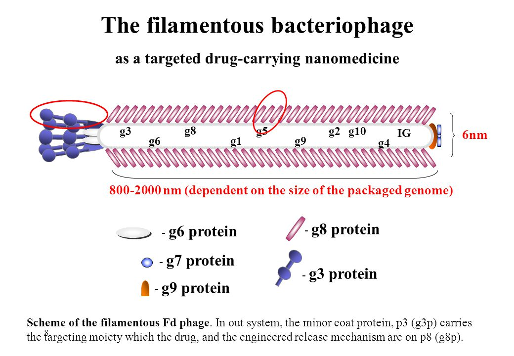 The filamentous bacteriophage