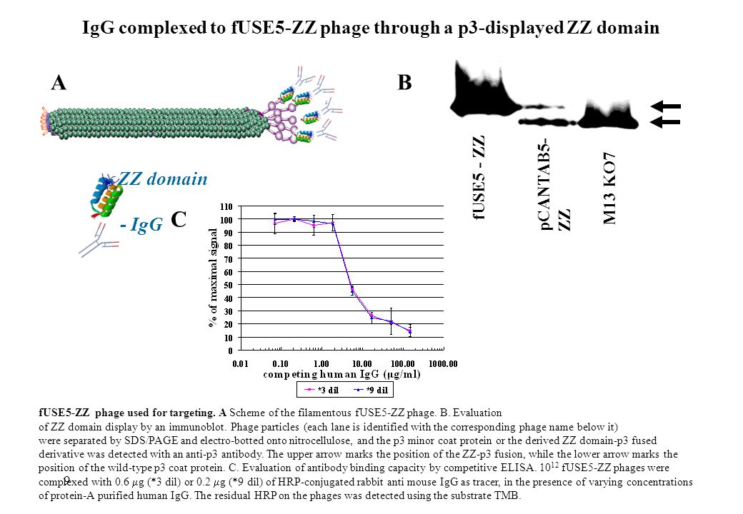 IgG complexed to fUSE5-ZZ phage through a p3-displayed ZZ domain