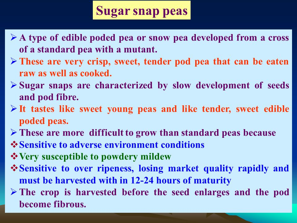 Sugar snap peas A type of edible poded pea or snow pea developed from a cross of a standard pea with a mutant.