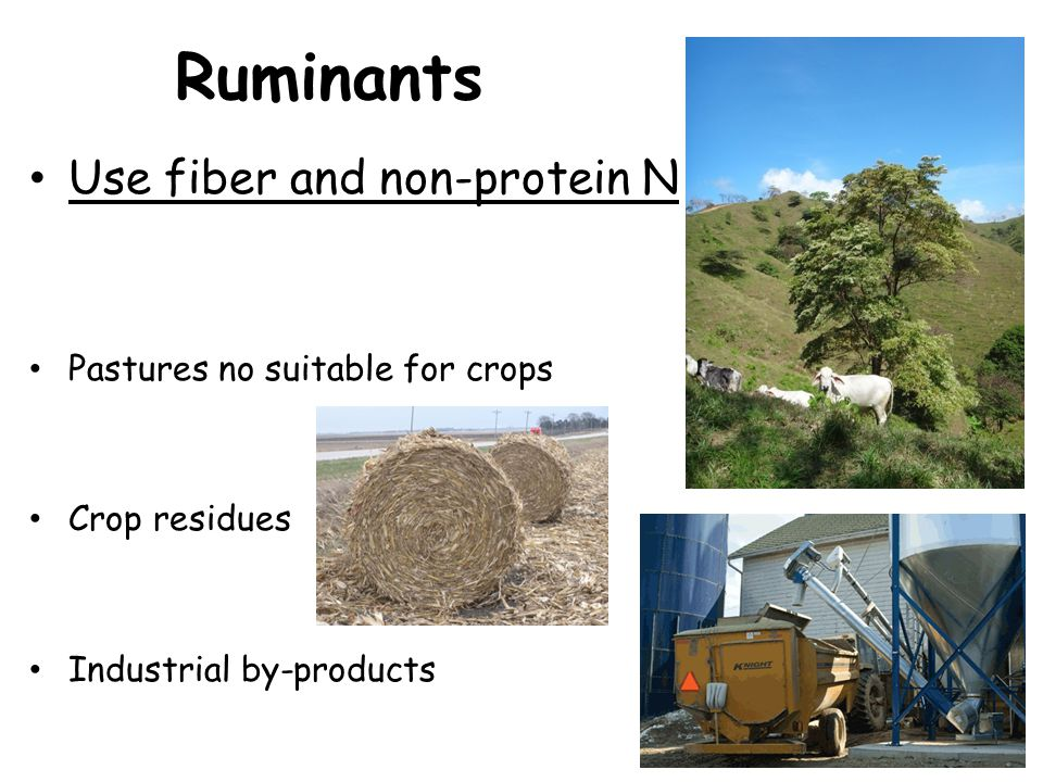Ruminants Use fiber and non-protein N Pastures no suitable for crops