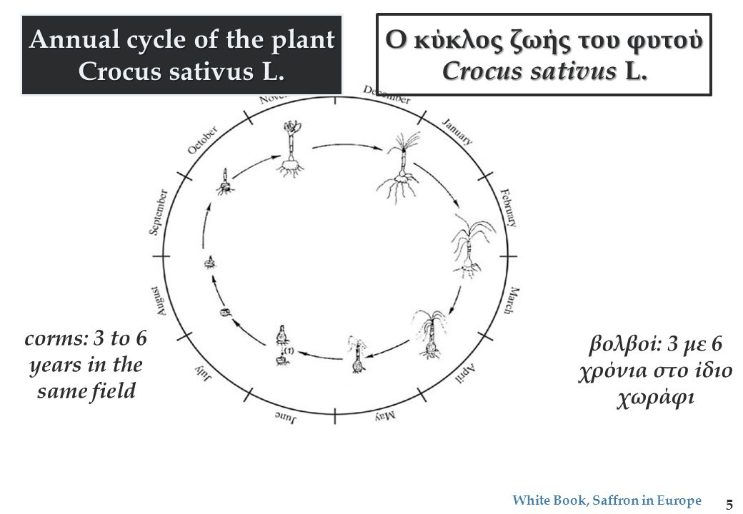 Annual cycle of the plant Crocus sativus L.