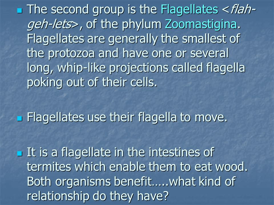 The second group is the Flagellates <flah-geh-lets>, of the phylum Zoomastigina. Flagellates are generally the smallest of the protozoa and have one or several long, whip-like projections called flagella poking out of their cells.
