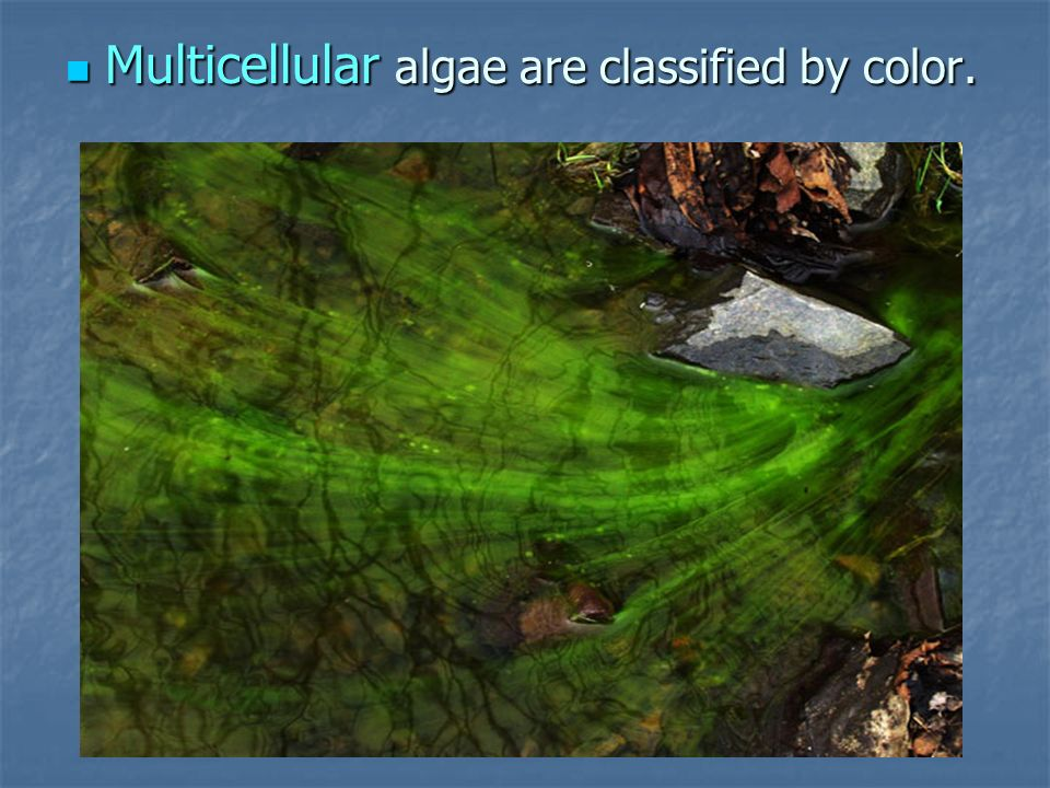 Multicellular algae are classified by color.
