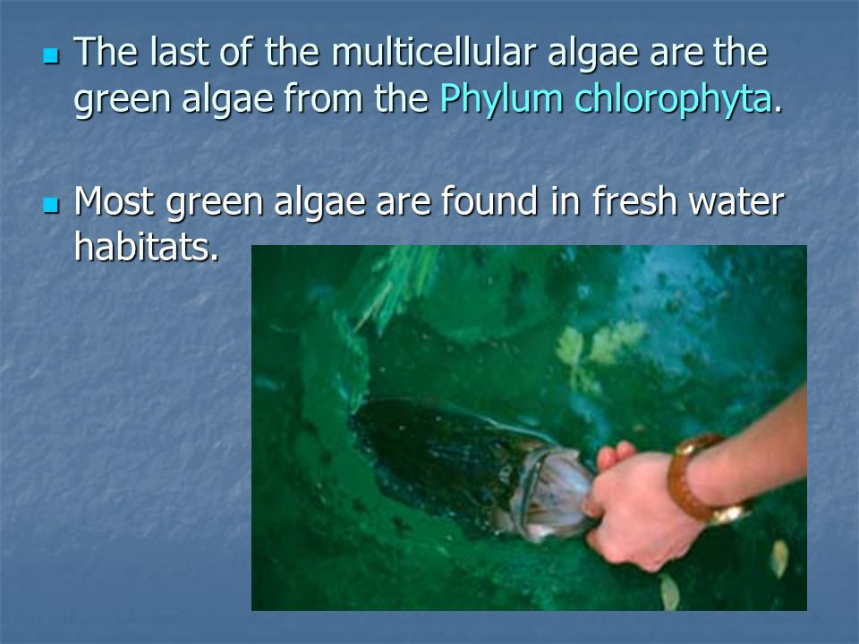 The last of the multicellular algae are the green algae from the Phylum chlorophyta.