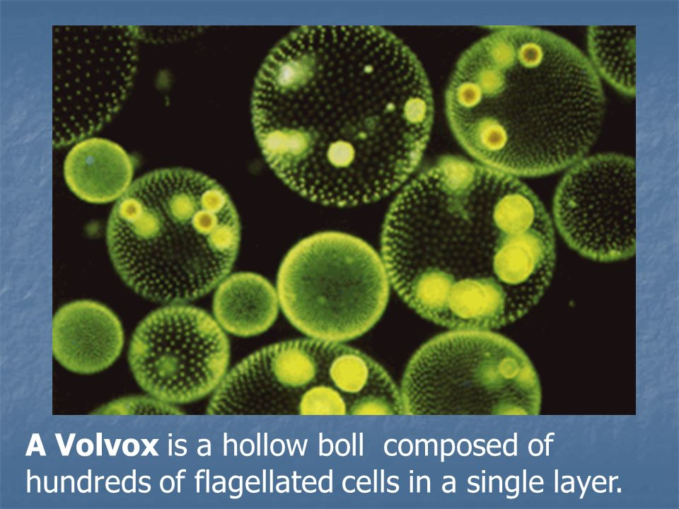 A Volvox is a hollow boll composed of hundreds of flagellated cells in a single layer.