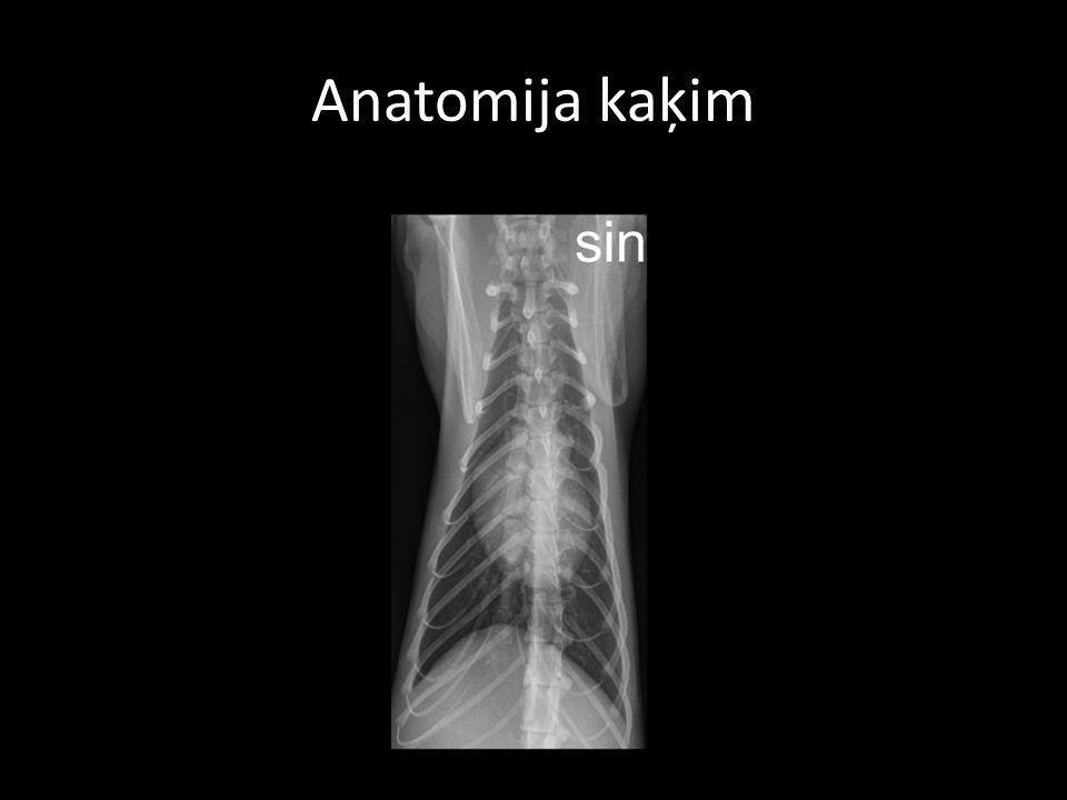 Anatomija kaķim