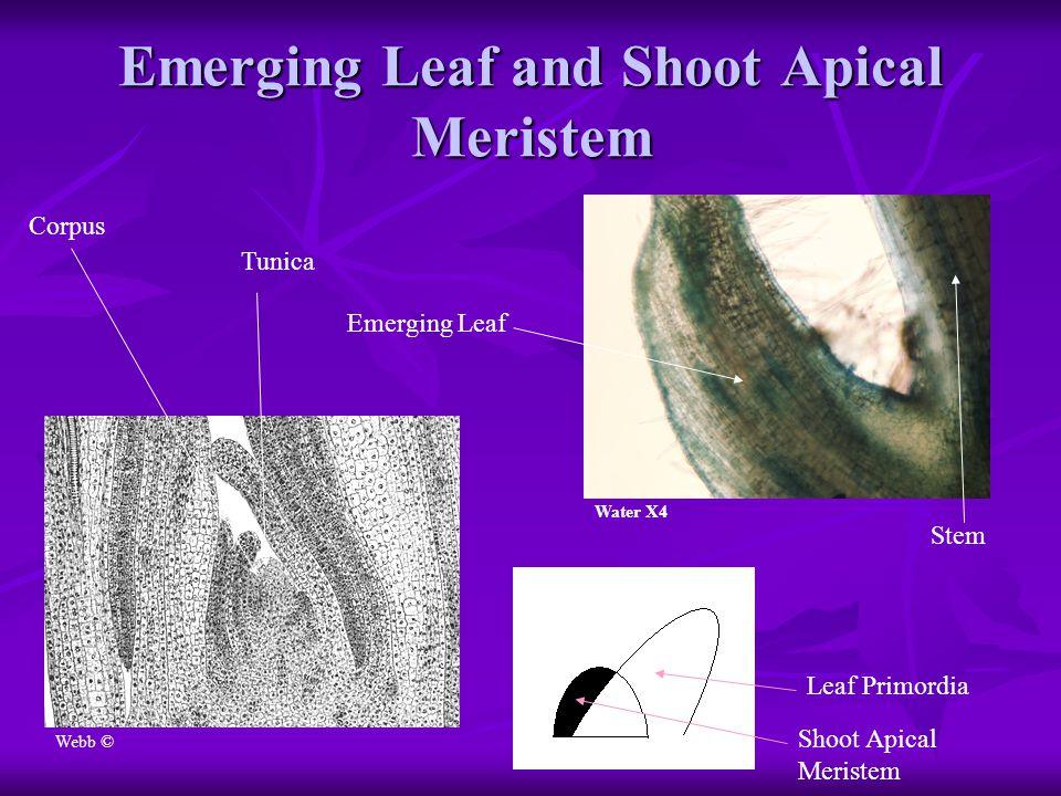 Emerging Leaf and Shoot Apical Meristem