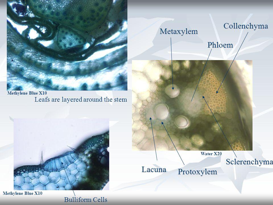 Collenchyma Metaxylem Phloem Sclerenchyma Lacuna Protoxylem