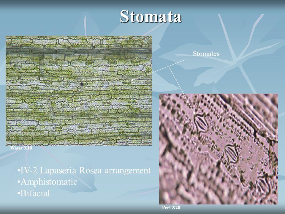 Stomata IV-2 Lapaseria Rosea arrangement Amphistomatic Bifacial