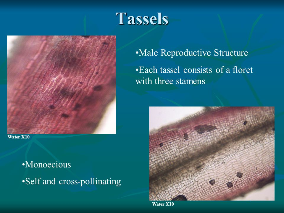 Tassels Male Reproductive Structure