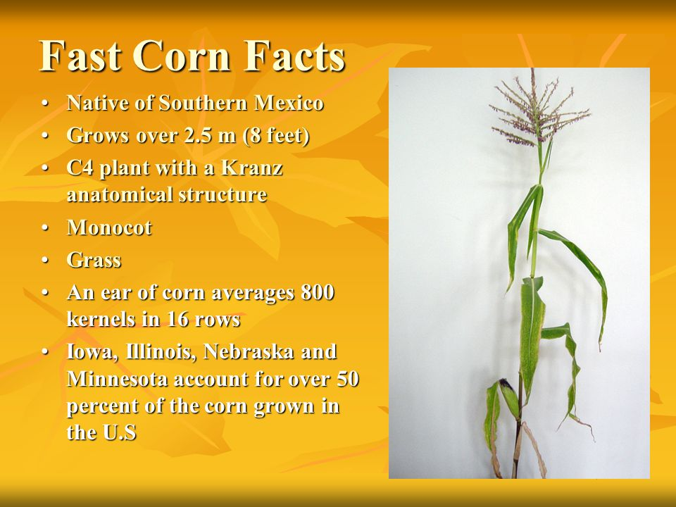 Fast Corn Facts Native of Southern Mexico Grows over 2.5 m (8 feet)