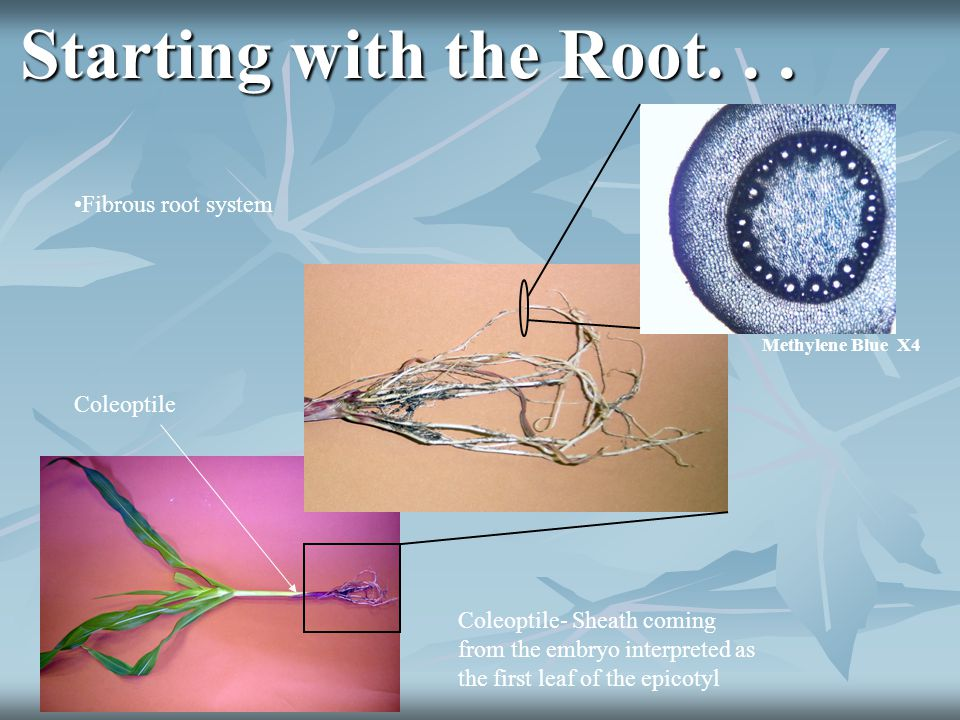 Starting with the Root. . . Fibrous root system Coleoptile
