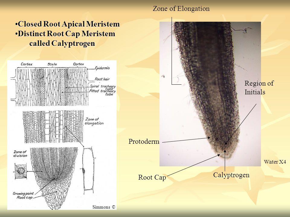 Closed Root Apical Meristem Distinct Root Cap Meristem