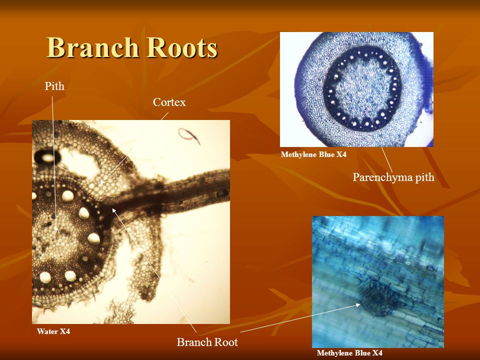 Branch Roots Pith Cortex Parenchyma pith Branch Root Methylene Blue X4