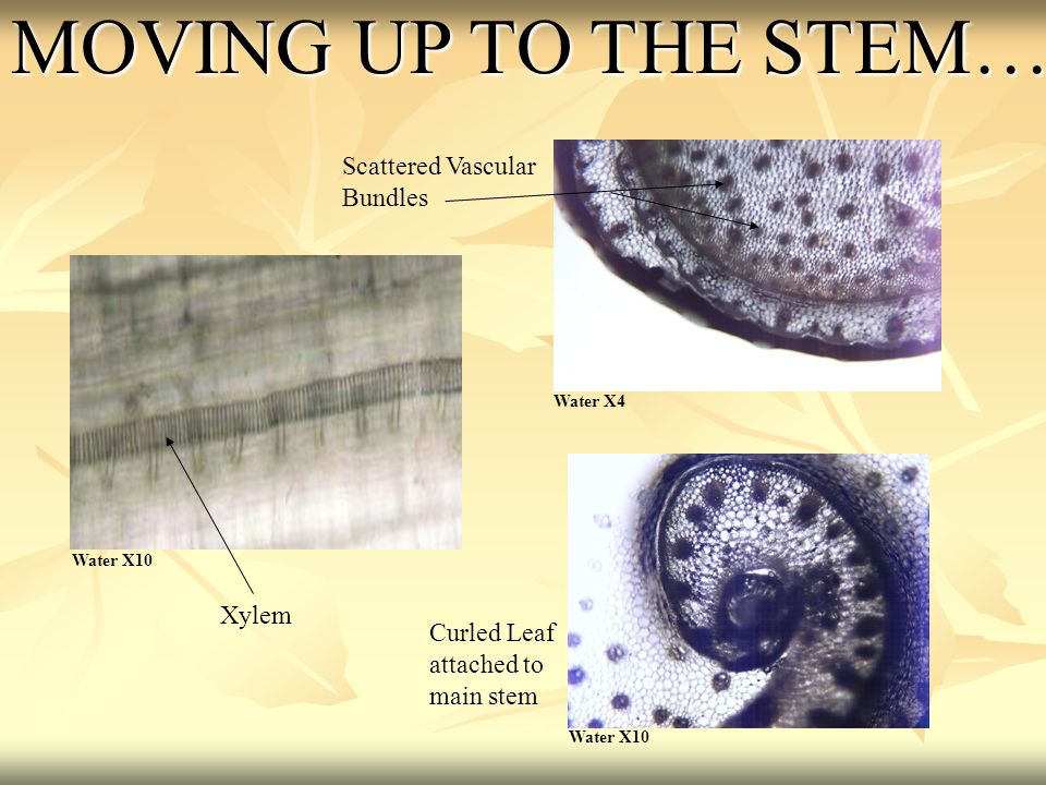 MOVING UP TO THE STEM… Scattered Vascular Bundles Xylem