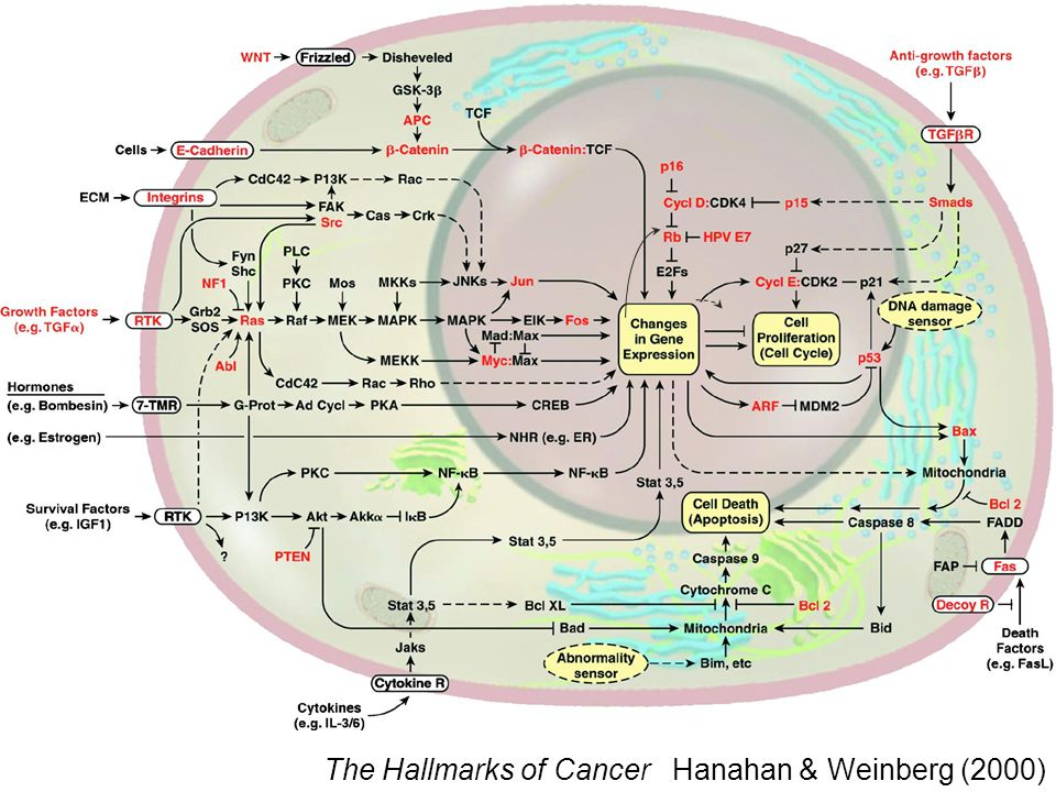 The Hallmarks of Cancer Hanahan & Weinberg (2000)