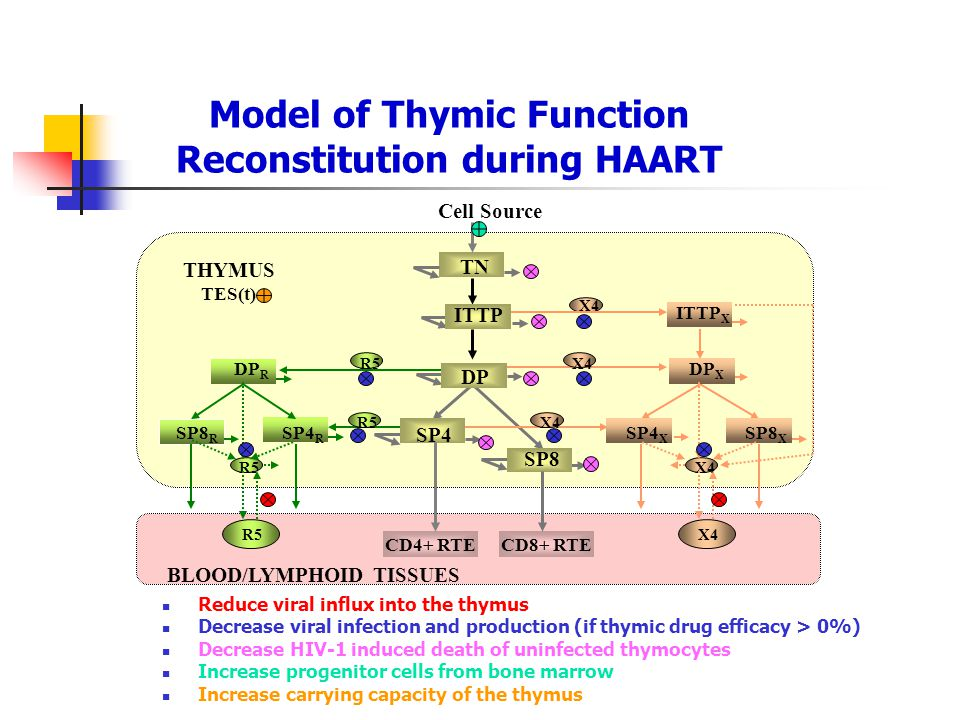Model of Thymic Function Reconstitution during HAART