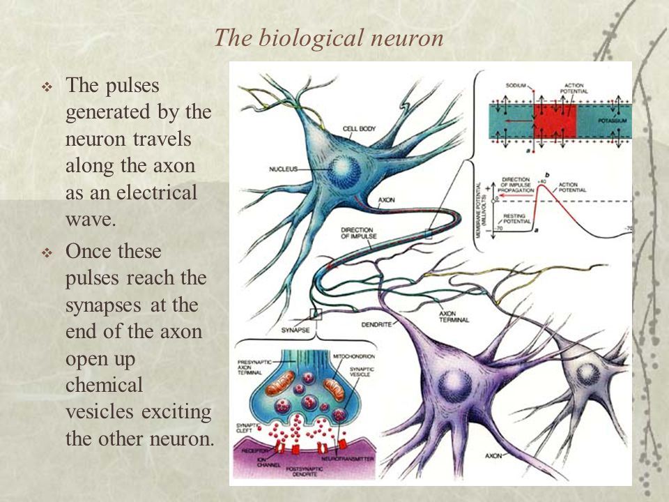 The biological neuron The pulses generated by the neuron travels along the axon as an electrical wave.