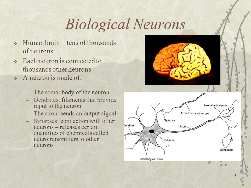 Biological Neurons Human brain = tens of thousands of neurons