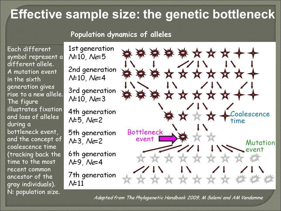 Effective sample size: the genetic bottleneck