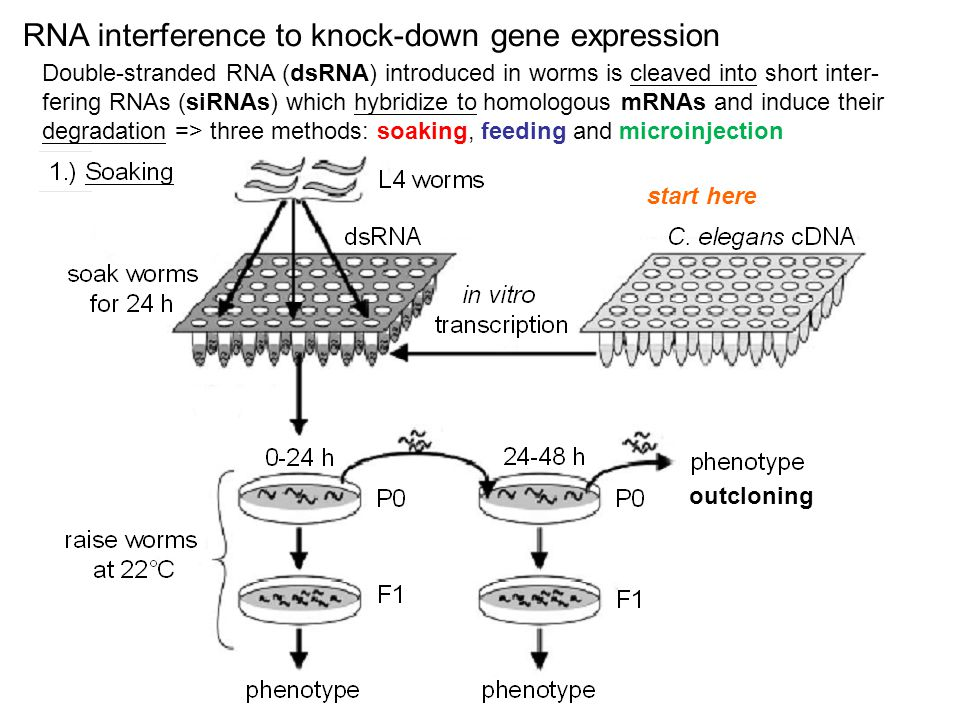 RNA interference to knock-down gene expression