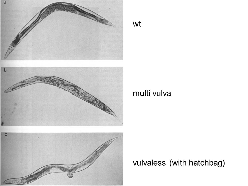 wt multi vulva vulvaless (with hatchbag)
