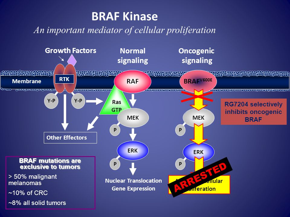 BRAF Kinase An important mediator of cellular proliferation