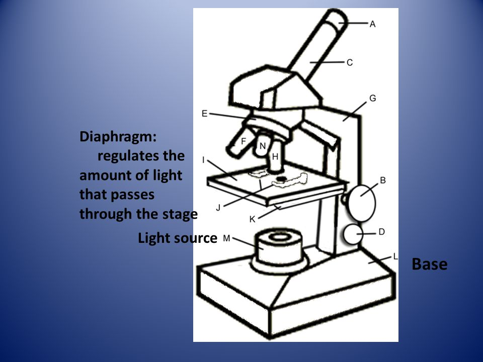 Base Diaphragm: regulates the
