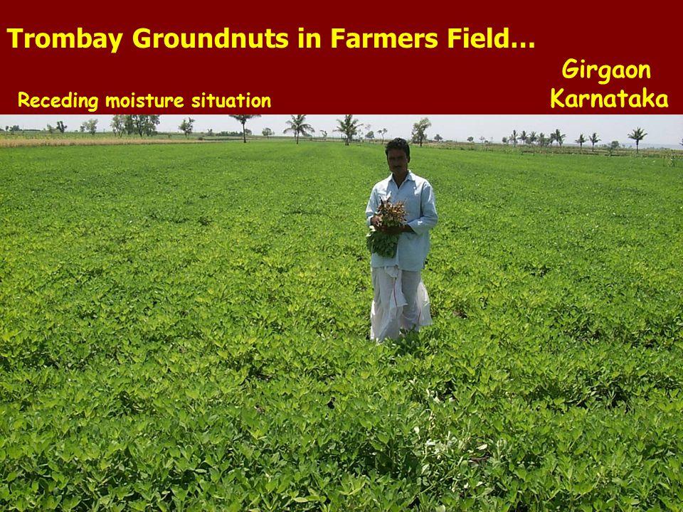 Trombay Groundnuts in Farmers Field…