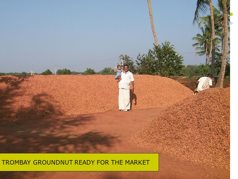 TROMBAY GROUNDNUT READY FOR THE MARKET