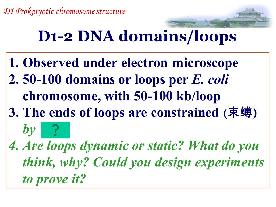 D1-2 DNA domains/loops Observed under electron microscope