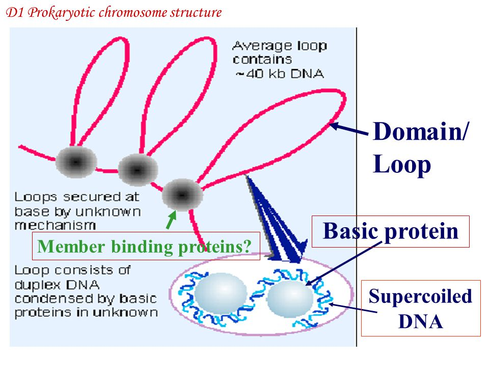 Domain/ Loop Basic protein Supercoiled DNA Member binding proteins