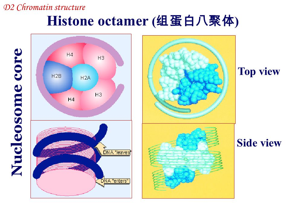 Histone octamer (组蛋白八聚体)