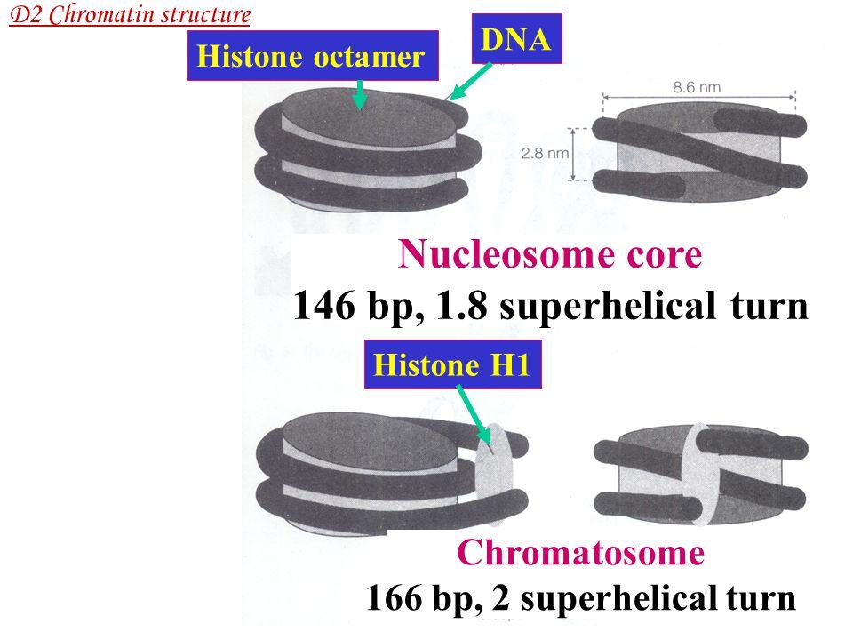 Nucleosome core 146 bp, 1.8 superhelical turn